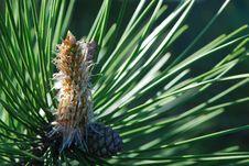 Free Pine Bud Stock Image - 4965381