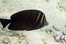 Free Sailfin Tang (zebrasoma Desjardinii) Royalty Free Stock Photo - 4965515