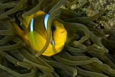 Free Red Sea Anemonefish (Amphipiron Bicinctus) And Bub Royalty Free Stock Image - 4965606