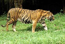 Indonesia ;Sumatra Tiger Royalty Free Stock Images