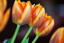 Free Tulips Stock Images - 4966054