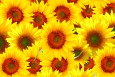 Free Field Of Sunflowers Royalty Free Stock Image - 4966396