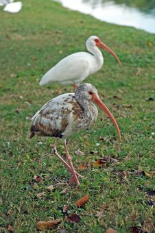 Free Juvenile American White Ibis With Adult Stock Photography - 4967012
