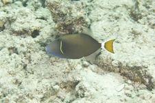 Free Picassofish (rhinecanthus Assasi) Stock Images - 4967154