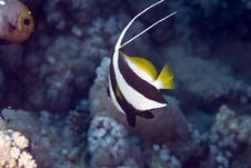 Free Schooling Bannerfish (heniochus Diphreutes) Stock Image - 4968501