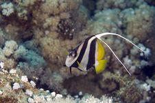 Free Schooling Bannerfish (heniochus Diphreutes) Stock Image - 4968511