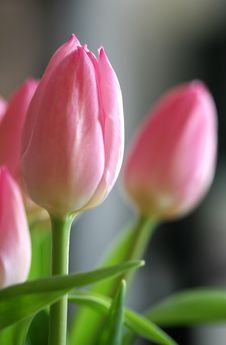 Free Pink Tulips Royalty Free Stock Images - 4968559