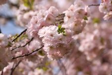 Free Japanese Morello Flowers Royalty Free Stock Photos - 4969198