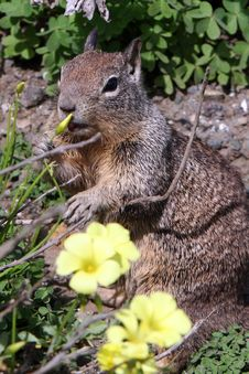 Free Squirrel Eating Flowers Royalty Free Stock Photo - 4969355