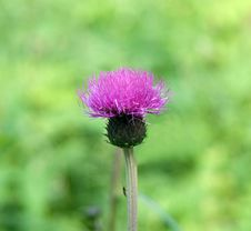 Free Purple Thistle On Green Background Royalty Free Stock Image - 4969686