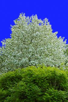 Free Blooming Apple Tree Royalty Free Stock Image - 4969746