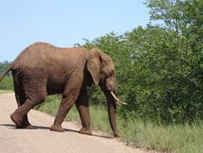 Free Elephant Bull Stock Image - 4969861