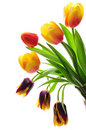 Free Tulips Stock Image - 4970761