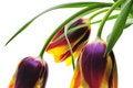 Free Tulips Royalty Free Stock Photos - 4970818