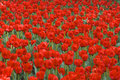 Free Field Of Red Tulips Stock Photo - 4975290