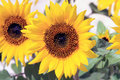 Free Sunflower At A Botanical Garden Stock Photography - 4979822