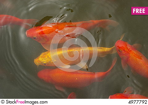 Yamabuki ogon koi free stock photos images 4977792 for Yamabuki koi fish