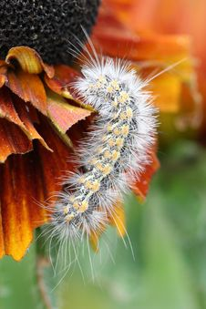 Free Caterpillar Eating Flower Royalty Free Stock Photography - 4970027