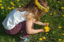 Free Girl Picking Dandelions Up Stock Photos - 4970243