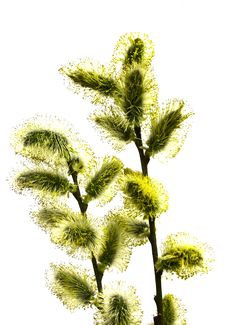 Free Branch Pussy-willow Royalty Free Stock Photo - 4970685