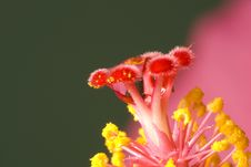 Free Hibiscus Rosa-sinensis Royalty Free Stock Image - 4971156