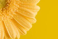 Free Yellow Gerbera Close Up Royalty Free Stock Photos - 4972198