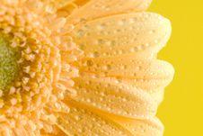 Free Yellow Gerbera Close Up Stock Images - 4972204