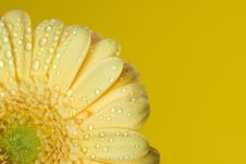 Free Yellow Gerbera Close Up Royalty Free Stock Image - 4972206