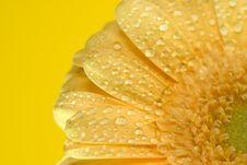 Free Yellow Gerbera Close Up Royalty Free Stock Photos - 4972208