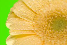 Free Yellow Gerbera Close Up Stock Photos - 4972233