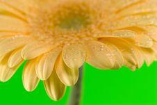 Free Yellow Gerbera Close Up Royalty Free Stock Photo - 4972235