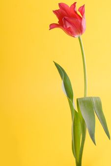 Free Red Tulip Close Up Royalty Free Stock Photo - 4972275