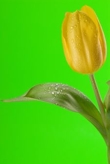 Free Yellow Tulip Close Up Royalty Free Stock Image - 4972276