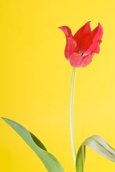 Free Red Tulip Close Up Stock Photo - 4972280