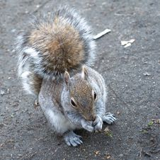 Free Eager Squirrel Royalty Free Stock Images - 4972539
