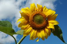 Free Sunflower In Blue Sky Royalty Free Stock Images - 4972929