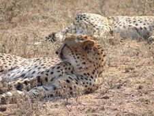 Free Relaxing Cheetahs Stock Photography - 4975292