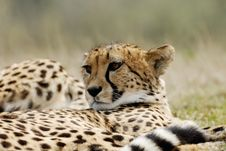 Free Beautiful Cheetah Royalty Free Stock Images - 4975579