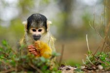 Free Cute Squirrel Monkey Royalty Free Stock Image - 4975596