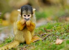 Free Cute Squirrel Monkey Royalty Free Stock Photos - 4975598