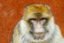Free Barbary Ape Royalty Free Stock Photography - 4975677