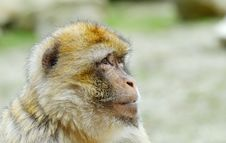 Free Barbary Ape Stock Images - 4975724