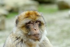 Free Barbary Ape Royalty Free Stock Image - 4975726