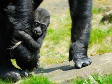 Free Baby Gorilla Stock Image - 4975781