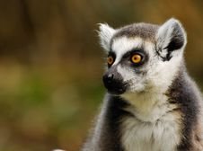 Free Ring-tailed Lemur Royalty Free Stock Photos - 4975788
