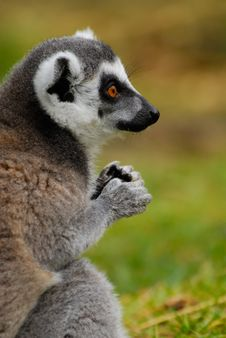 Free Ring-tailed Lemur Royalty Free Stock Photos - 4975848