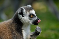 Free Ring-tailed Lemur Stock Photography - 4975862