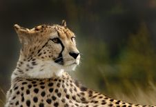 Free Beautiful Cheetah Stock Photo - 4976010