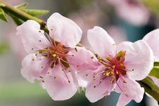 Free Closeup Of Peach Blossom Royalty Free Stock Photos - 4976138
