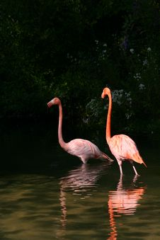 Free Pair Of Pink Flamingoes In Pond Stock Photography - 4976362